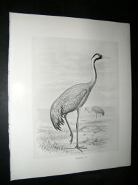 Frohawk 1898 Antique Bird Print. Crane